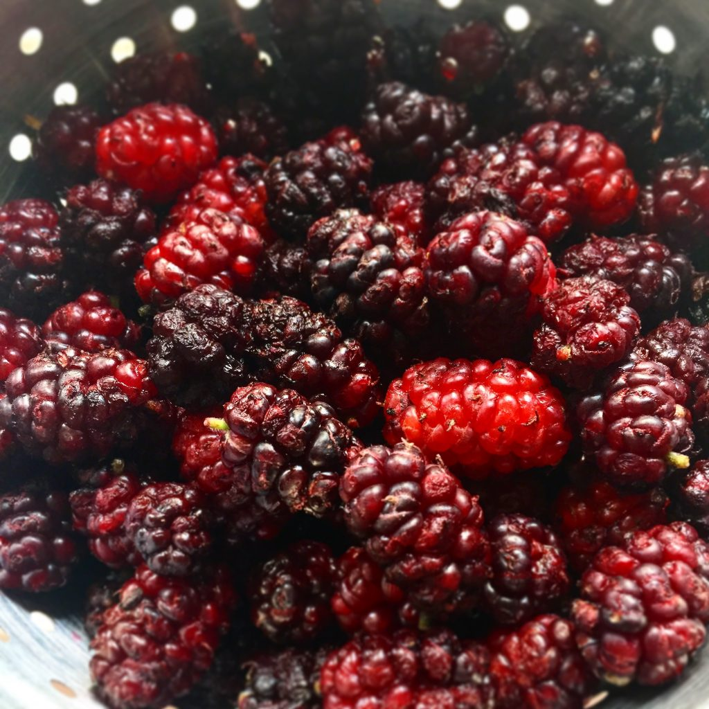 Mulberries ripe for the picking